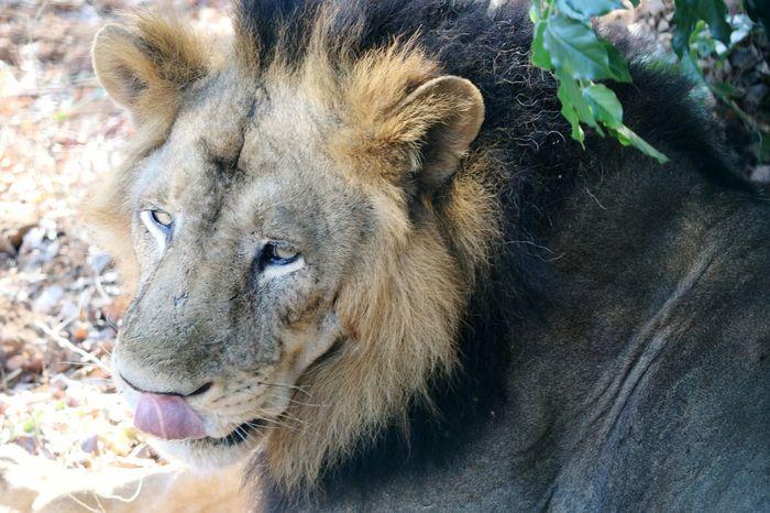 Lion Animal Zoo