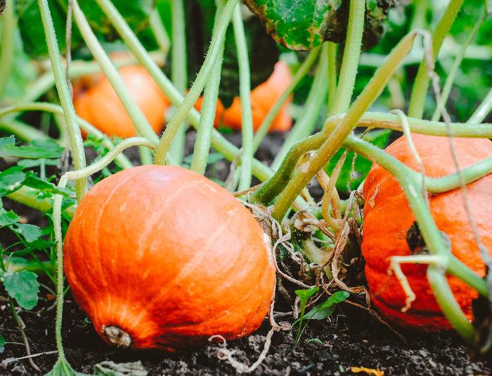 Close-up of orange fruit on field