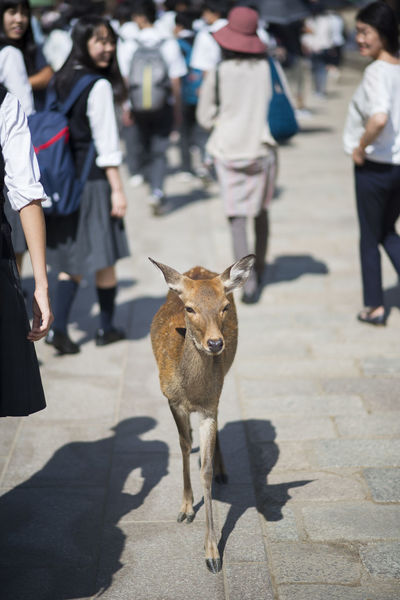 Deer walking in the middle of the crowd in front of Todai-ji Temple, Nara, Japan Animal Wildlife Animals In The Wild Attention Deer Japan Japan Street Photography Japanese Culture Large Group Of People Mammal Nara One Animal Outdoors People Real People Street Street Photography Todai-Ji Todaiji Temple Tourist Attraction  Travel Travel Destinations Travel Photography Walking Walking Forward My Year My View