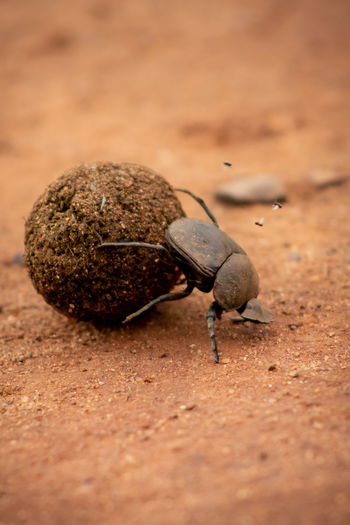 Close-up of dung beetle insect on sand