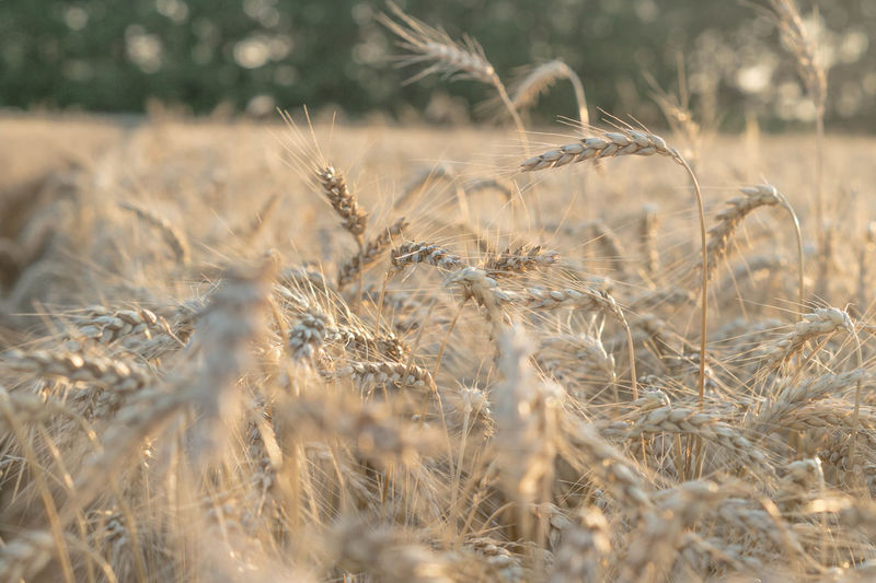 Wheat Growing On Agricultural Field