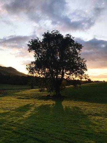 Scottish tree
