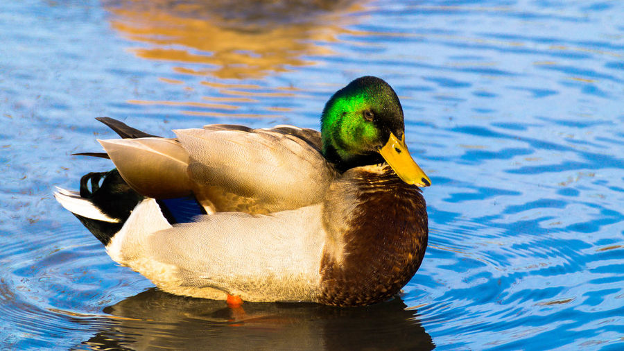 Animal Themes Animal Wildlife Animals In The Wild Beak Bird Close-up Day Duck Lake Nature No People One Animal Outdoors Swimming Water
