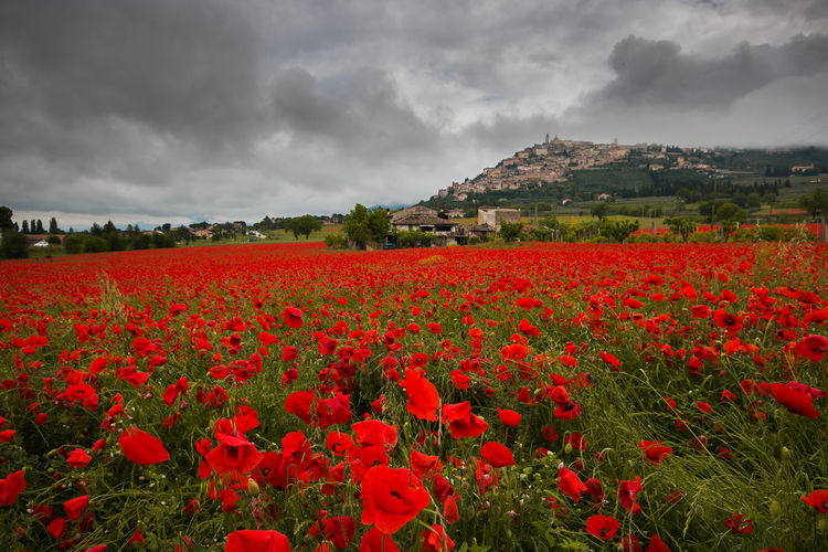 Trevi historic village view from beautiful field of red poppies in the spring season Trevi Umbria Poppy Poppy Flowers Poppies  Poppies Field Poppies In Bloom Medival Village Rural Scene Rural Agriculture Field Clouds Dark Storm Cloudscape Travel Destinations Travel Italy Europe Landscape Flower Flowering Plant Beauty In Nature Sky Flowerbed Flower Head Outdoors Tranquil Scene Fragility Vulnerability  Environment Growth Red Cloud - Sky Plant Land Nature Freshness Scenics - Nature Day No People