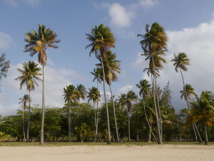 Palm trees, sand and blue sky, that is holiday Nature Outdoors No People Landscape Pine Woodland Heat - Temperature Scenics Palm Tree Beauty In Nature Eyem Gallery EyeEm Gallery Tranquil Scene Blue Sky Sand Beach Palm Trees Untouched Scene Lunquillo Beach Puerto Rico