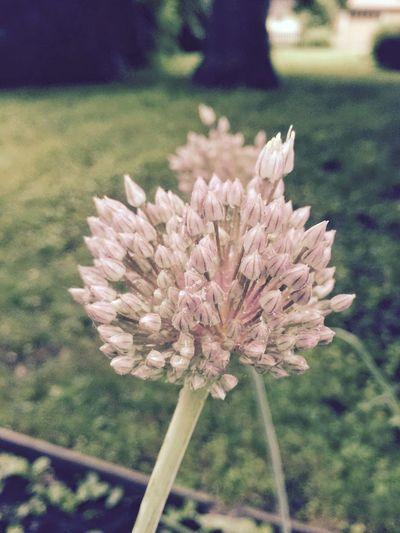 Garlic Garlicfans Garden Love GardenPorn In The Garden My Garden In My Garden Garden Photography Gardens Flowers,Plants & Garden