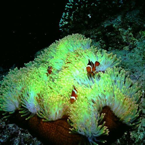 カクレクマノミ Clown Anemonefish Under Sea Nature_collection Nature at 西表島イソバナ根