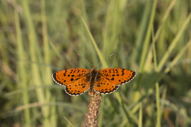melitaea trivia Trivia Animal Themes Animals In The Wild Beauty In Nature Butterfly Butterfly - Insect Close-up Day Farfalla Grass Growth Insect Melitaea Trivia Nature No People Outdoors Plant