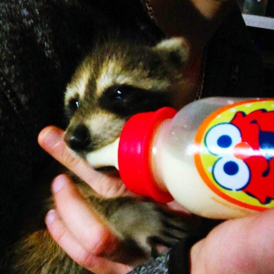 My friends baby raccoon Raccoon Babyraccoon