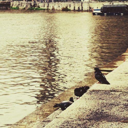 Birds Pigeons River Singapore
