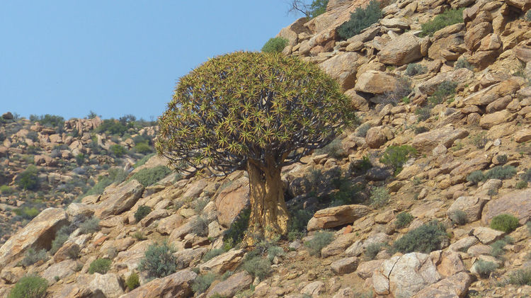 Quivertree in South Africa Beauty In Nature Blue Clear Sky Cliff Eroded Geology Hill Mountain Nature Non-urban Scene Quivertree  Remote Rock Rock - Object Rock Formation Rocky Rugged Scenics Stone - Object Sunlight Tranquil Scene Tranquility Travel Destinations Tree Tree
