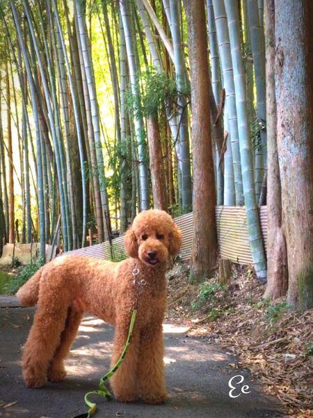 今日のお散歩… 暑い日だったけど、竹林のある所は 冷んやり 凄く気持ちいいお散歩でした😊🍃🍃🍃 Japan 犬 Dog わんこ 散歩 竹林