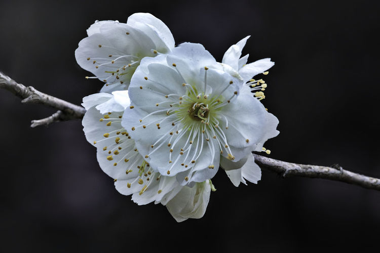 Plum blossom close up White Color Plum Blossom Plum Blossom Branches Plum Blossom Views Flowers Springtime Spring Flowers Growth Flower Flowering Plant Fragility Beauty In Nature Nature Close-up No People Outdoors Flower Head Petal Freshness Plant