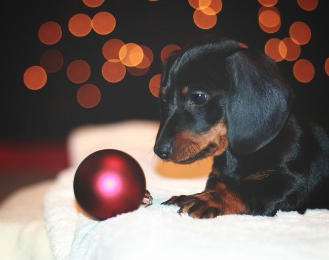dachshund Dachshund Happiness Dogs Lights Indor Dog Pets One Animal Domestic Animals Animal Animal Themes Indoors  Mammal Puppy Christmas Winter No People Red Pet Clothing Close-up Christmas Decoration Day
