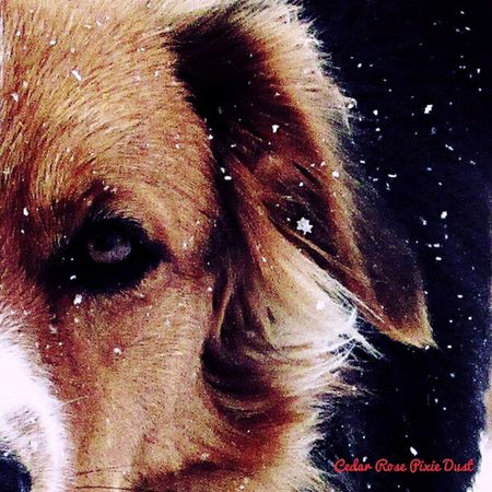 Outdoors Winter Winter Morning Snow ❄ Snowflakes Dogs I Love My Dog Having Fun English Shepherds Nature Country Life Eyes Natural Beauty Close-up It's Cold Outside