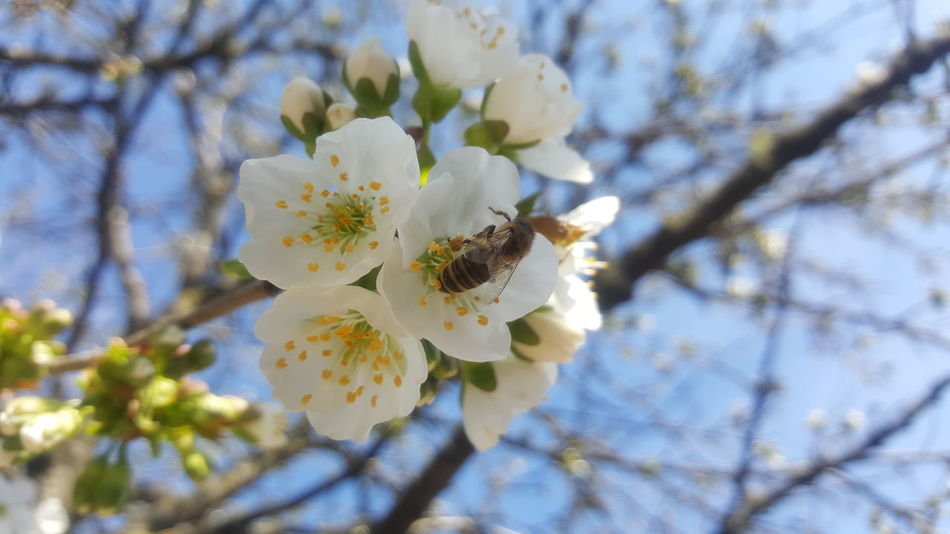 Mobilephotography Samsung Galaxy S6 Nofilter Noedit Nature Tree Nature Growth Flower Springtime Beauty In Nature Tree Close-up Blossom Petal Fragility No People Branch Outdoors Stamen Freshness Day Flower Head Almond Tree Bee 🐝