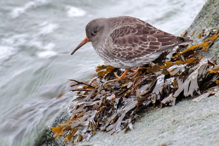 Purple sandpiper (Calidris maritima) foraging at the south bull wall. These arctic breeding birds are common winter visitors in the Dublin bay. It's so warm and cosy here... Dublin South Bull Wall Dublin Bay Purple Sandpiper Calidris Maritima Bird Birds Of EyeEm  Bird Photography Birds_collection Nature Photography Nature Natureinthecity Animals In The Wild Close-up No People