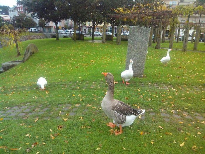 My cheeky friends Ducks Spanish Duck Monforte Ducks Animals In Spain