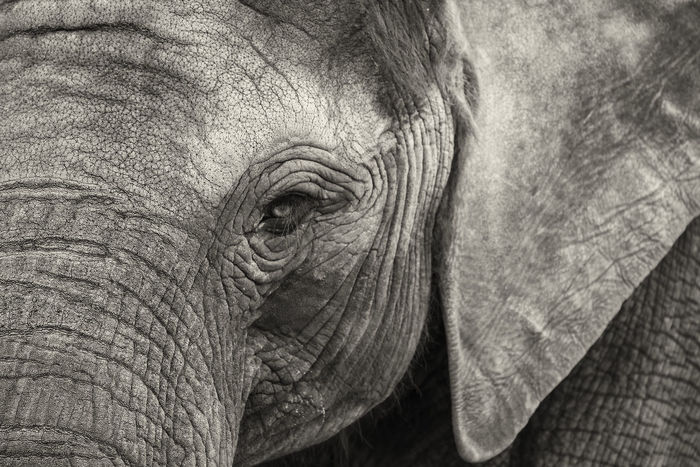 @ the zoo :)! African Elephant Animal Body Part Animal Eye Animal Themes Animal Wildlife Animals In The Wild Beekse Bergen Close-up Elephant Elephants Mammal Nature Netherlands One Animal Outdoors Zoo