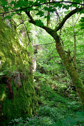 Travelling through a wild forest, I found those mossy stone formations with the sun peaking through. Backgrounds Beauty In Nature Day Freshness Green Color Growth Low Angle View Nature No People Outdoors Scenics Tranquility Tree Willow Tree