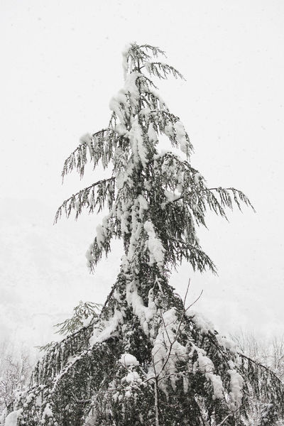 Fir tree in the snowstorm Blizzard Branch Cold Cover Covered Evergreen Fir Frost Nature Plant Snow Snow Covered Snowdrift Snowfall Snowflake Snowy Tree White Christmas Winter Xmas
