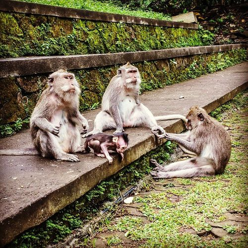 Macaques Ubud Bali Macaques Macaque Monkeys Male Female Adult Children Moss Temple Shade Palm Trees INDONESIA Southeast Asia Outdoors ASIA Hindu Balinese Style Afternoon Monkey Forest
