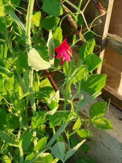 S9plus S9photography EyeEm Best Shots Eye4photography  EyeEm Gallery EyeEm Selects Eyem Best Shots Sweetpea Flowers Flower Leaf Close-up Plant Green Color Flower Head Petal Blooming