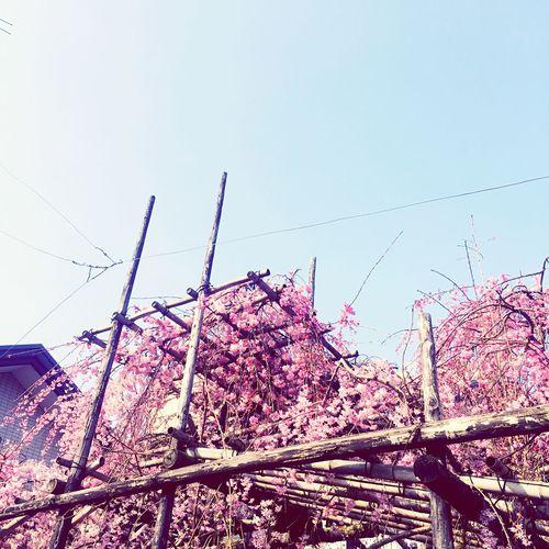 Sakura2015 Kyoto