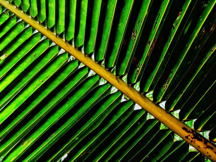 Green Color Leaf Nature Growth Full Frame Backgrounds Beauty In Nature Pattern Day Palm Tree No People Outdoors Close-up Freshness Frond Fragility Wilmor Latosa Sorsogon Sorsogoncity Sorsogonprovince