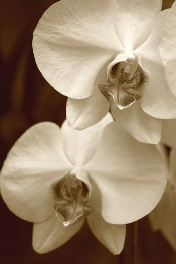 The Week On EyeEm Flower Orchid Beauty In Nature Close-up Photooftheday || A white orchid in my back yard ✨
