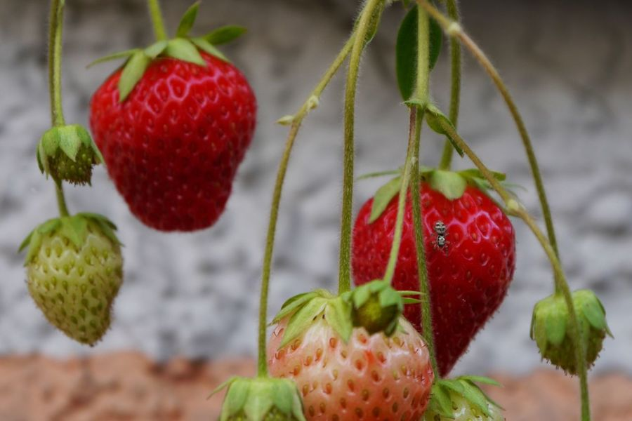 Fruit Red Freshness Food And Drink Close-up Growth No People Healthy Eating Food Focus On Foreground Day Nature Plant Hanging Outdoors Tree Beauty In Nature Strawberryplant Strawberries Strawberries