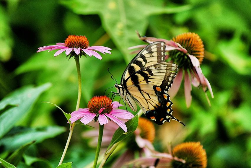 Animal Themes Animals In The Wild Beauty In Nature Butterfly Butterfly - Insect Close-up Coneflower Day Flower Flower Head Focus On Foreground Fragility Freshness Growth In Bloom Insect Nature One Animal Petal Pink Color Plant Pollination Springtime Stem Wildlife