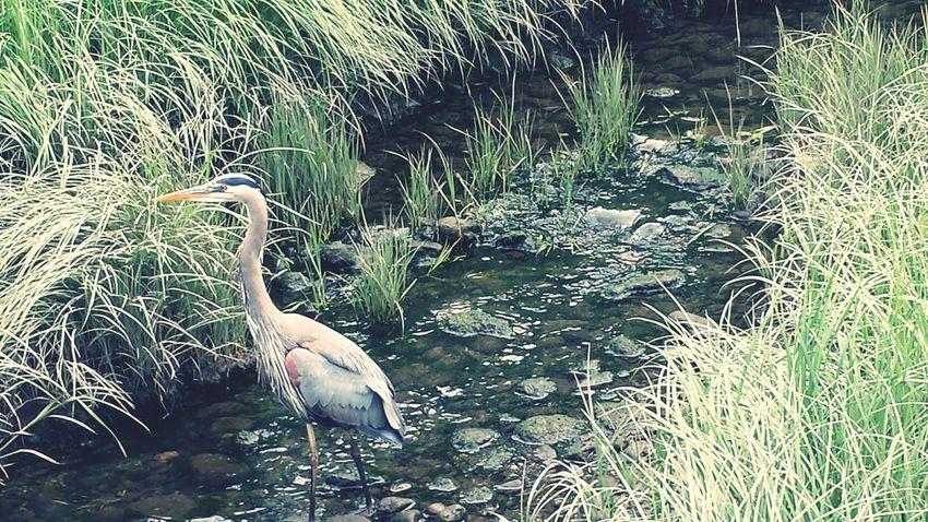 Birdwatching Eye Em Nature Lover Birds_collection Blueheron