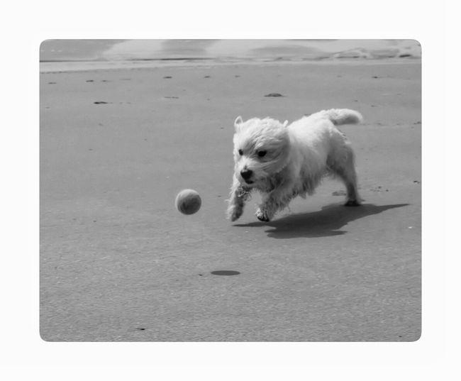 Hanging Out Taking Photos Check This Out Dogs Hi! Fuji Rokkor 58mm F1.4 Fuji_nordic Fujifilm_xseries Manuallens Beach Sea Playing Noir Portrait Blackandwhite Photography Fujifilm