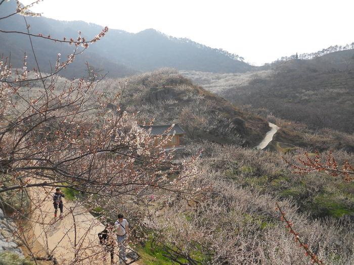 Gwangyang, Korea South Korea Beauty In Nature Branch Flower Mountain Spring Tree