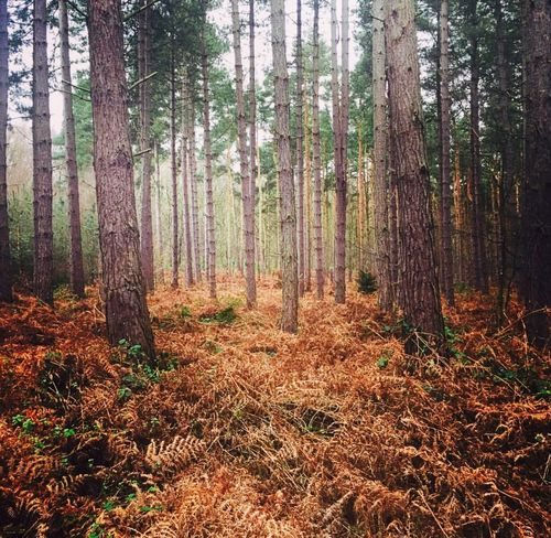 Misty Britishweather Tree Pine Trees Sherwood Forest Nature Still Life Winter Gloomy Beautiful Beauty In Nature Naturalworld Plant WoodLand Forest Experiencing Life