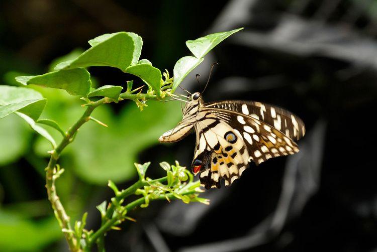 Butterfly on Porcupine Orange