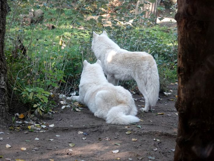 White Wolf Wolf Wolfs  Mammal Animal Themes Animal Domestic Pets Domestic Animals Vertebrate One Animal Plant High Angle View Canine No People Nature Dog Day White Color Land Field