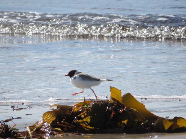 Nature Hooded Plover Seaweed No Edit/no Filter Bird Water Wave Sea Beach