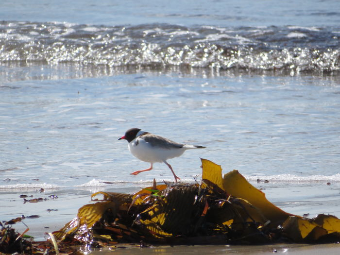 Nature Hooded Plover Seaweed No Edit/no Filter Bird Water Wave Sea Beach