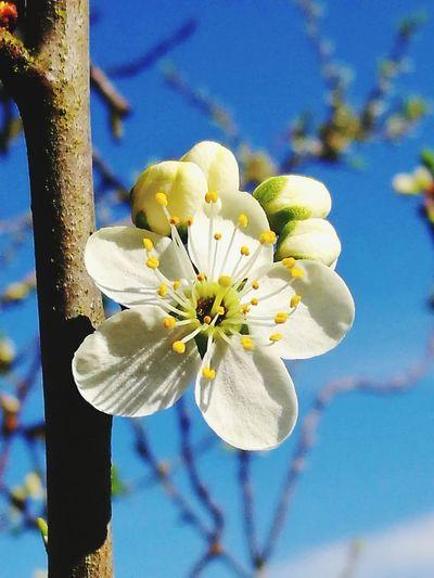 Mirabellenblüte Mirabellenblüte🌾 Flower Head Springtime Petal Stamen Blossom Close-up Sky Plant Plant Life Botany Plum Blossom Fragility Passion Flower Pollen