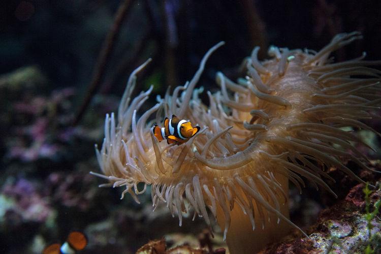 Clown fishes swimming in sea