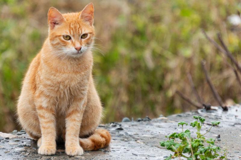 Ginger Cat Cat