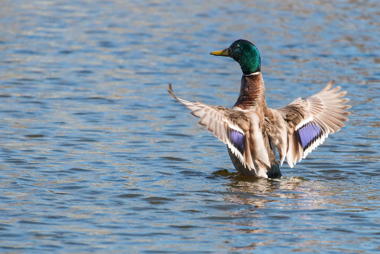 Male mallard duck landing in lake