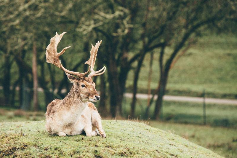 Antelope By Tree