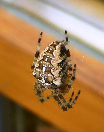 Kreuzspinne Animal Themes Arthropod Beauty In Nature Day Insect Nature One Animal Tiny