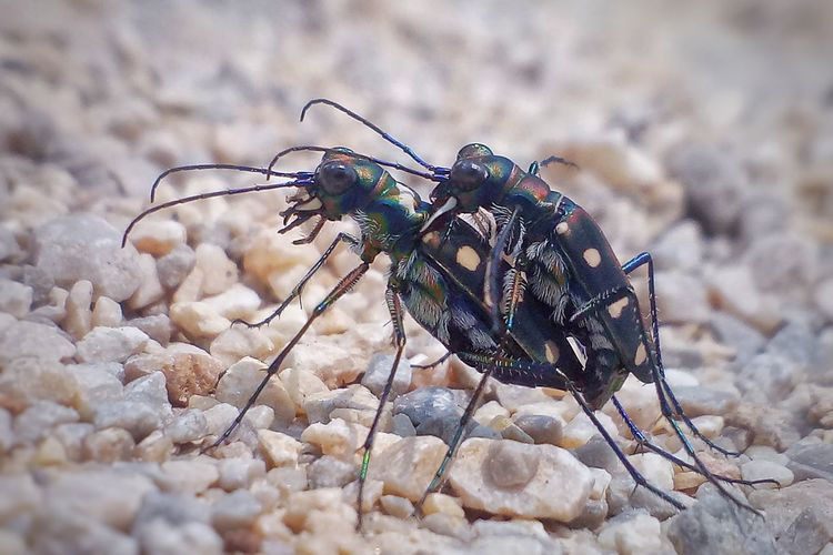 tiger beetle Butterfly - Insect Insect Close-up Animal Themes Dragonfly Magnification Cell Microscope Slide Pest Fiji Moth Damselfly Animal Antenna Animal Wing Arthropod Invertebrate Animals Mating Mosquito Spread Wings