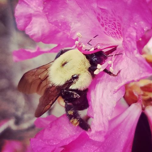 Loves Pink Flower Nature Fragility Beauty In Nature Plant Pink Color Growth Petal One Animal Animal Themes Purple No People Flower Head Freshness Close-up Day Insect Indoors  Pollination Plant Outdoors Beauty In Nature bumble bee tennessee Nature Bee