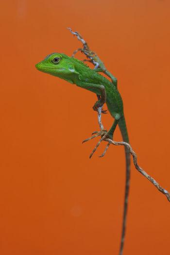 Green Color Lizard Macro Photography Close-up Nature Outdoors Reptile