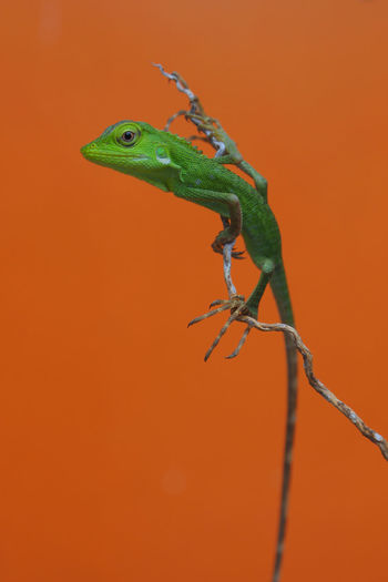 green lizard posing Animal Close-up Green Color Lizard Nature Orange Color Reptile